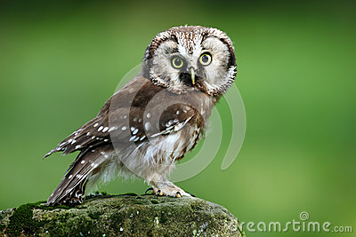 Small bird Boreal owl, Aegolius funereus, sitting on larch stone with clear green forest background