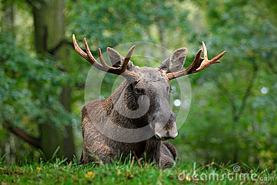 Wildlife scene from Sweden. Moose lying in grass under trees. Moose, North America, or Eurasian elk, Eurasia, Alces alces in the d