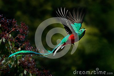 Flying Resplendent Quetzal, Pharomachrus mocinno, Savegre in Costa Rica, with green forest background. Magnificent sacred green an