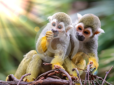 Baby Squirrel Monkey and Mother Watching !