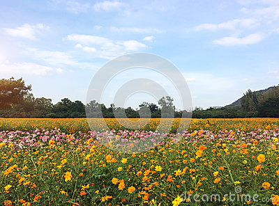 Big Spring Fields Concept. Meadow with Blooming Pink, Orange, White Cosmos Flowers in Spring Season at The Corner with Copyspace
