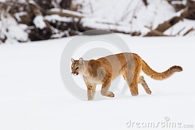 Mountain lion on a hunt