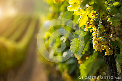 White wine grapes in the vineyard