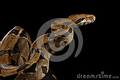 Boa constrictor imperator color, on isolated black background