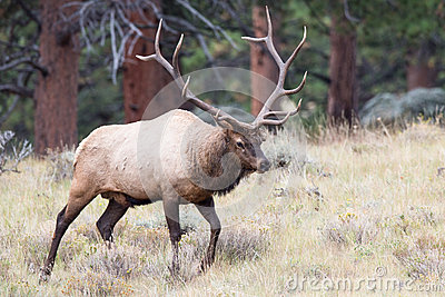 Big bull elk on prowl