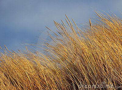 Marram Beach Grass
