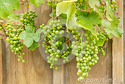 Unripe Sauvignon Blanc grapes on vine