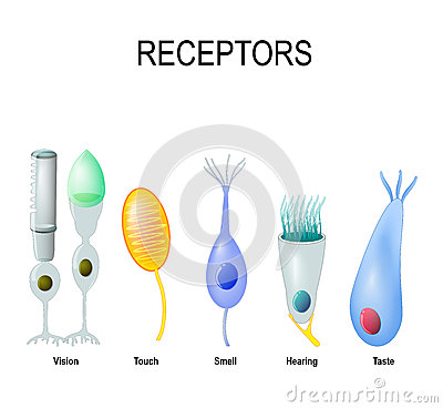 Rod and cone cells, Meissner`s corpuscle, Olfactory receptor, ha
