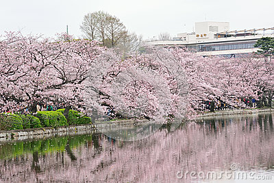 Reflections of blooming Cherry Blossoms at Ueno park in Tokyo, Japan