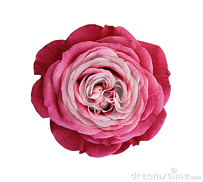 Pink-red-white rose flower. white isolated background with clipping path. Nature. Closeup no shadows.