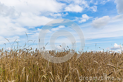 Wheat field and blue sky in sommer