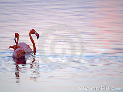 Caribbean Flamingos court on the Gotomeer, Bonaire, Dutch Antilles.