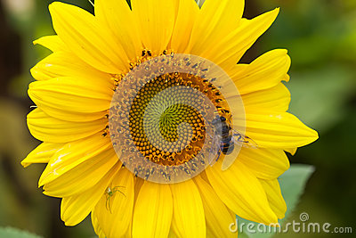 Hoverfly Eristalis on sunflower plant macro view pollination. Yellow petals flower with fly. Shallow depth of field