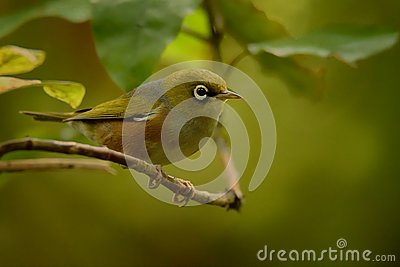 Zosterops lateralis - Silvereye - tauhou in the primeval forest
