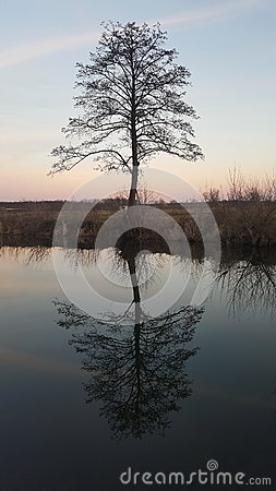 Old tree river reflection at sunset