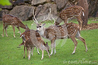 Chital Axis axis