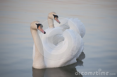 Couple of the white swans