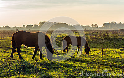 Backlight picture of two Icelandic horses at sunset