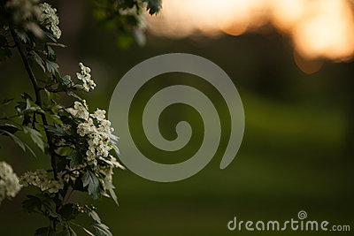 Spring flower background - abstract floral border green leaves and white flowers. Boke. Sunset.