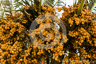 palm tree dates of amber color. Close up. abstract textured natural background