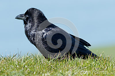 Raven walking in the grass