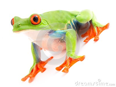 Red eyed tree frog Agalychnis callydrias isolated on white