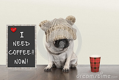 Cute little pug puppy dog with bad morning mood, sitting next to blackboard sign with text I need coffee now, copy space