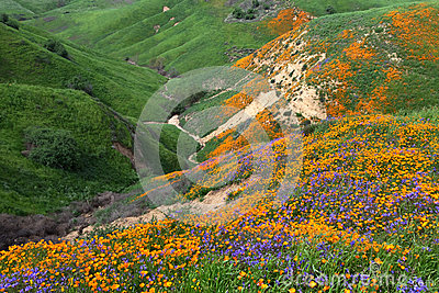 Chino Hills Wildflower