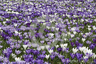 Purple white crocus