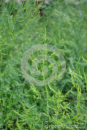 Asparagus - Asparagus officinalis - in the ferny flowering stage