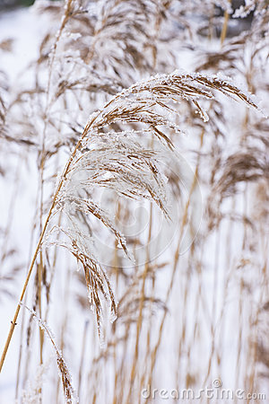 Common reed in icy cold winter. Frosty straw. Freeze temperatures in nature