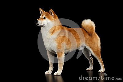 Pedigreed Red Shiba inu Dog Standing on Isolated Black Background