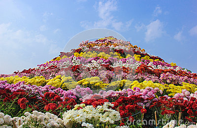 Huge Chrysanthemum flower Arrangement Chandigarh Flower Festival