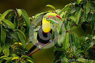 Toucan sitting on the branch in the forest, Boca Tapada, green vegetation, Costa Rica. Nature travel in central America. Keel-bill