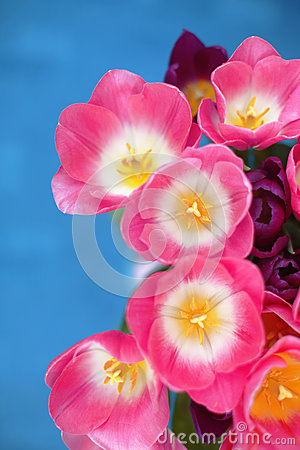 Pink tulips flower on blue background. A greetings card