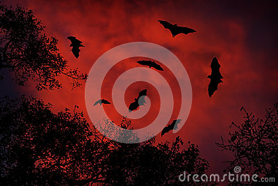 Night wildlife with bats. Giant Indian Fruit Bat, Pteropus giganteus, on red sunset dark sky. Flying mouses in the nature habitat,