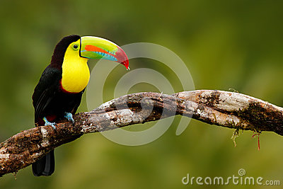 Keel-billed Toucan, Ramphastos sulfuratus, bird with big bill. Toucan sitting on the branch in the forest, Panama. Nature travel i