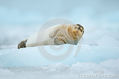 Cute animal lying on the ice. Blue icebreaker with seal. cold winter in Europe. Bearded seal on blue and white ice in Arctic Finla