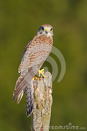 Common Kestrel, Falco tinnunculus, little birds of prey sitting on the tree trunk, Slovakia. Summer day with kestrel. Wildlife sce