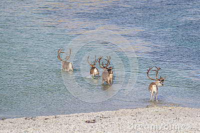 Herd of reindeer crossing water in Arctic Norway