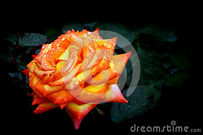 Orange tropical rose with dew drops