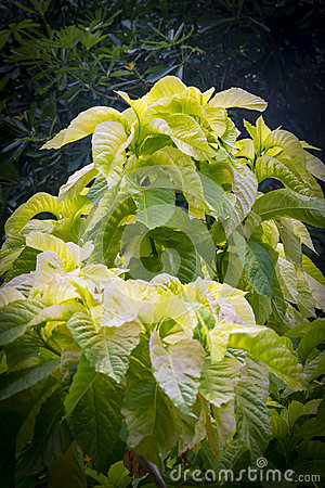 Amaranthus tricolor `Early Splendor`