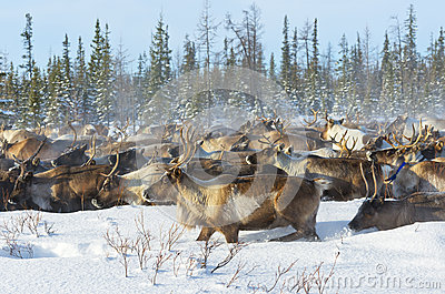 Reindeer migrate in the tundra