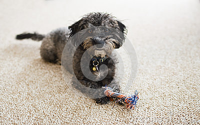 Scruffy Yorkiechon puppy with toy indoors