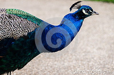 A beautiful male peacock showing its wheel