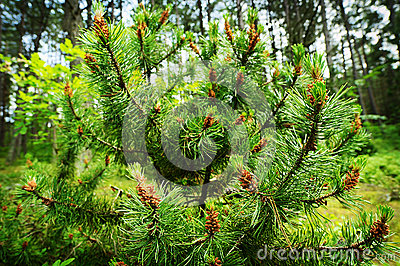 Conifer cones. Scots or scotch pine Pinus sylvestris tree young male pollen flowers.