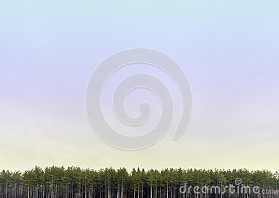 Wide open pastel colored skyscape with line of tall pine trees a