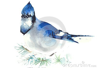 Blue jay bird watercolor painting illustration isolated on white background greeting card