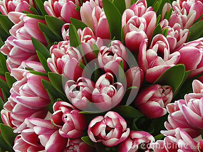 Tulips flowers. Bouquets of white-pink tulips.  Spring background with flowers tulips.  Closeup.