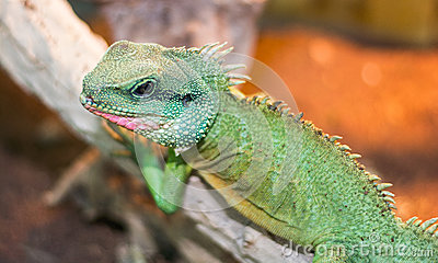 Chinese water dragon Physignathus cocincinus is a species of a
